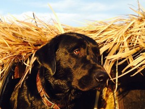Black-Lab-Hunting-Blind