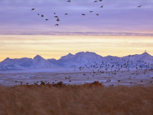 Ducks-Flying-Mountains-02