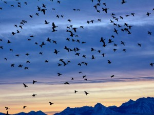 Ducks-Flying-Mountains